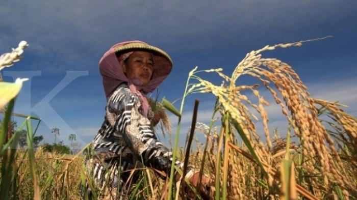Kabupaten Bolmong masih jadi lumbung beras terbesar di provinsi Sulawesi Utara