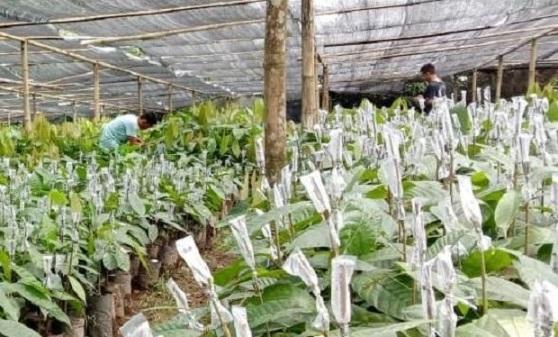 Warga Kotamobagu Ini Sukses Jadi Suplier BibitTanaman Agricultur di Bolmong Raya
