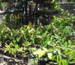 Desa Moyag Tampoan Kembangkan Usaha Tanam Durian Montong