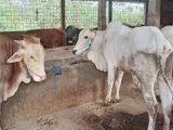 Bisnis Daging Sapi di Kotamobagu Masih Menguntungkan
