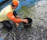 Dibelah 11 Sungai, Kecamatan Kotamobagu Potensial Usaha Perikanan
