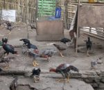 Berdayakan Potensi Peternak Ayam Bangkok, Pemkot Diminta Subsidi Vaksin Flu Burung