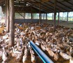 Harga Jagung Selangit, Peternak Bebek di Kota Kotamobagu, Banyak Gulung Tikar