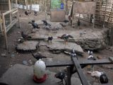 Menjamur Peternak Ayam Bangkok di Kotamobagu, Seminggu 1 Ton Pakan Terjual di Kios Afika Sinindian