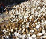 Meski Harga Fluktuatif, Kotamobagu Masih Potensi Produksi Kopra