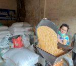 Harga Jagung Mulai Normal, Peternak Unggas di Kotamobagu Gembira