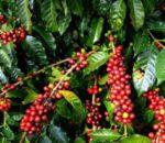 Kotamobagu Selatan Jadi Kawasan Pengembangan Pertanian Organik Kluster Kopi