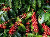 Kopi Kotamobagu Dikenal Luas di Indonesia
