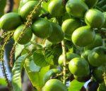 Ribuan Pohon Matoa di Kotamobagu Berbuah Lebat, Tembus Rp15 ribu Perkilogram