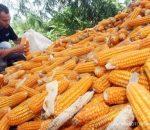 Produksi Jagung Kawasan Kota Kotamobagu Capai 4.930 Ton Pertahun
