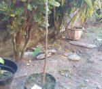 Warga Tumobui Tanam Ratusan Bibit Durian Montong