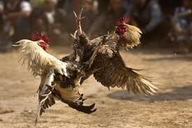 Polsek Bolangitang Gerebak Sabung Ayam Dekat Rudis Bupati Bolmut