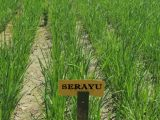 Genjot Produksi Beras, Dinas Pertanian Kotamobagu Giat Pemurnian Benih Varietas Padi Serayu