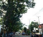Dimulai Desa Bungko, Pemkot Kotamobagu Akan Tebang Semua Pohon Trembesidi Pinggiran Jalan