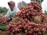 Setiap Tahun Kotamobagu Produksi Bawang Merah 684 Ton