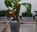 Romy Budidayakan Bunga Bonsai Kelapa Di Kotamobagu