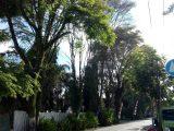 Bahayakan Keselamatan Masyarakat, Kota Kotamobagu Dikepung Pohon TremBesi
